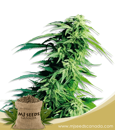 Kush XL Autoflower Marijuana Seeds