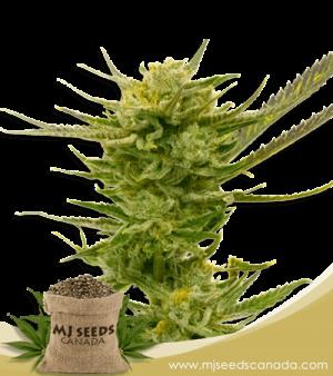 Lemon Autoflower Marijuana Seeds