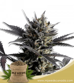 Lemon Haze Autoflower Marijuana Seeds