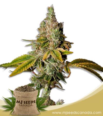 Lemon OG Feminized Marijuana Seeds