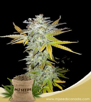 Lemon Pie Marijuana Seeds Regular