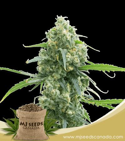 Lowryder Autoflower Marijuana Seeds
