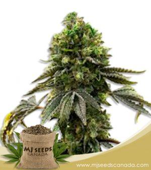 Moby Marijuana Seeds Regular