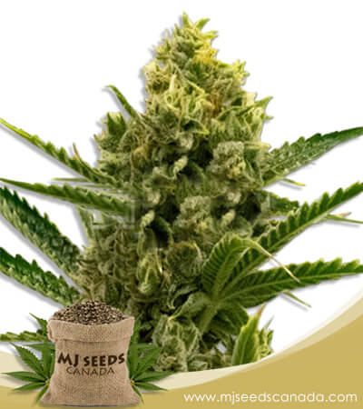 Nicole Kush Feminized Marijuana Seeds