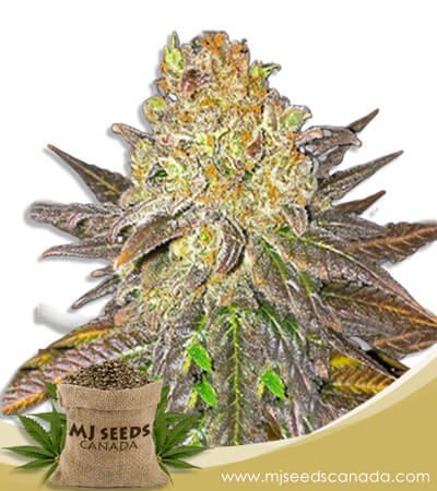 Oregon Peach Feminized Marijuana Seeds