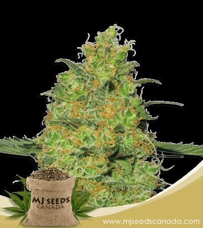 Pineapple Autoflower Marijuana Seeds