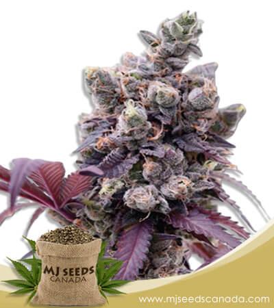 Purple Gelato Feminized Marijuana Seeds
