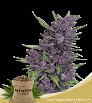 Purple Kush 450