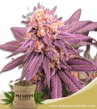 Purple Punch Feminized Marijuana Seeds