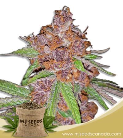 Purple Urkle Feminized