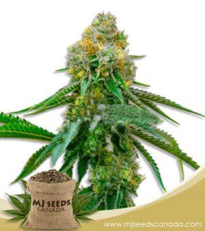 Siberian Snow Feminized Marijuana Seeds
