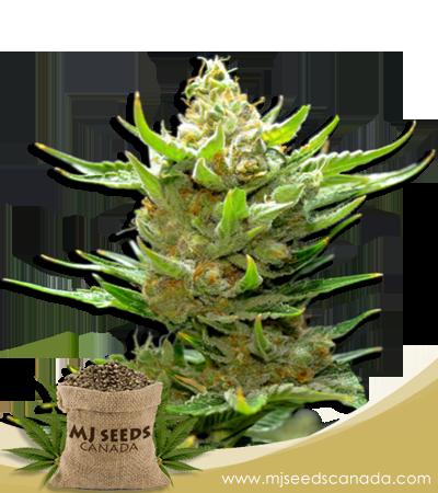 Snow Ripper Marijuana Seeds Regular