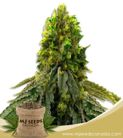 Snow Ripper Feminized Marijuana Seeds