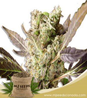 Somango Marijuana Seeds Regular