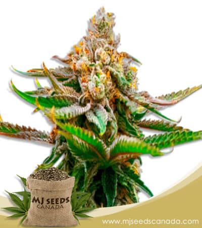Strawberry Feminized Marijuana Seeds