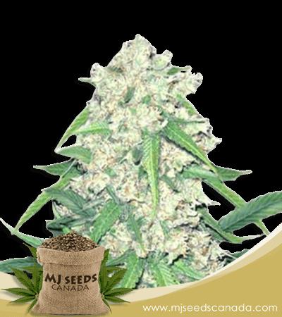 Super Silver Haze Autoflower Marijuana Seeds