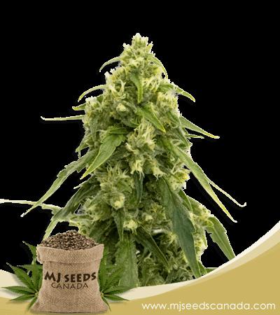Tangerine Autoflower Marijuana Seeds