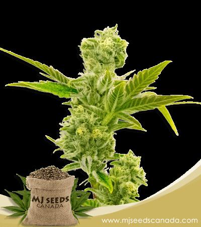 Triple XL Autoflower Marijuana Seeds