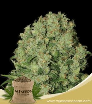 White Russian Feminized Fast Version Marijuana Seeds