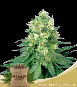 White Widow Marijuana Seeds Regular