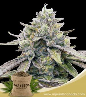 Zkitllez Marijuana Seeds