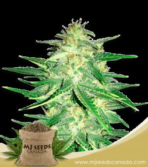 Zkittlez High CBD Marijuana Seeds