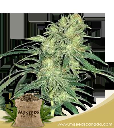 Hindu Kush Marijuana Seeds Regular