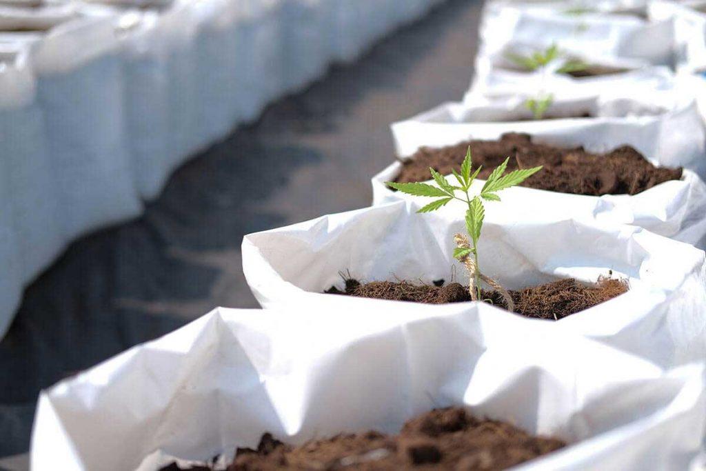 Tips on Handling Cannabis Seedlings