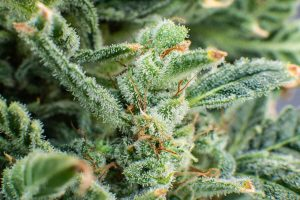 List of the Best Strains