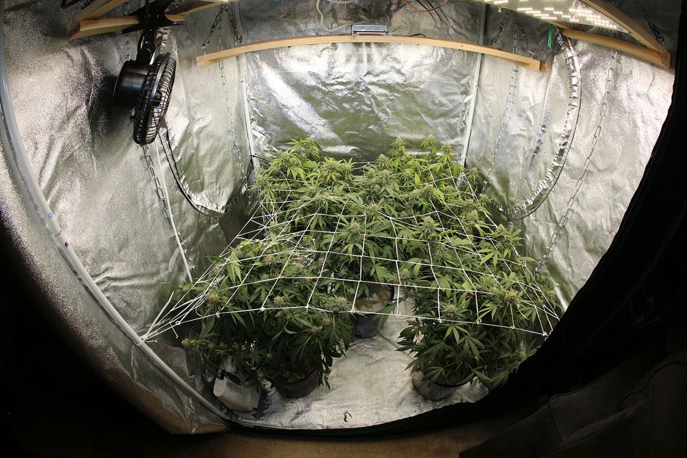 Cannabis Tent