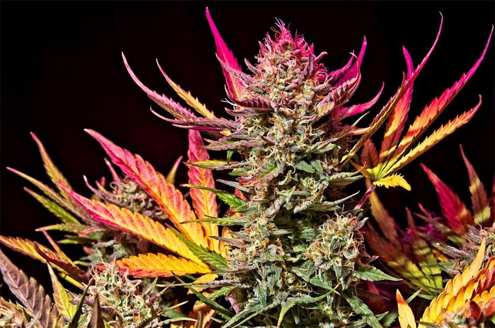 Advantages and Disadvantages of Growing Autoflowering Marijuana Seeds