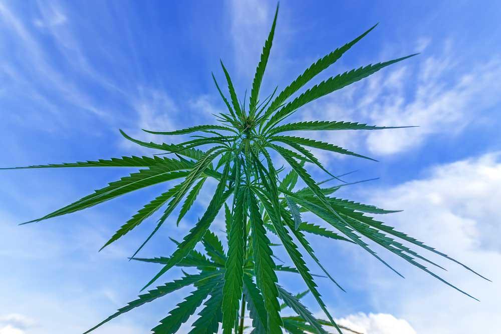 Best Outdoor Marijuana Strains