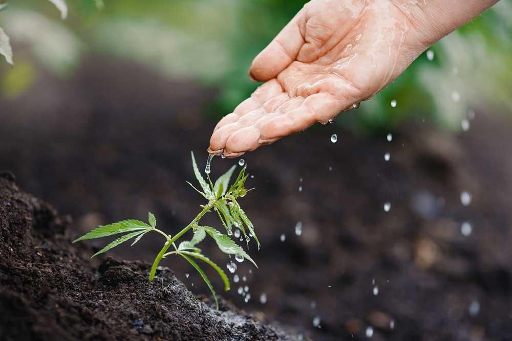 how often do marijuana seeds need water