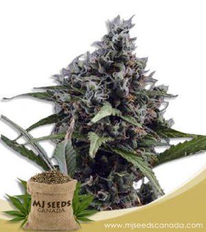 Aloha Autoflowering Marijuana Seeds