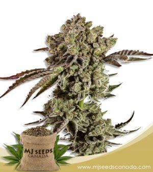 Animal Mint Autoflowering Marijuana Seeds
