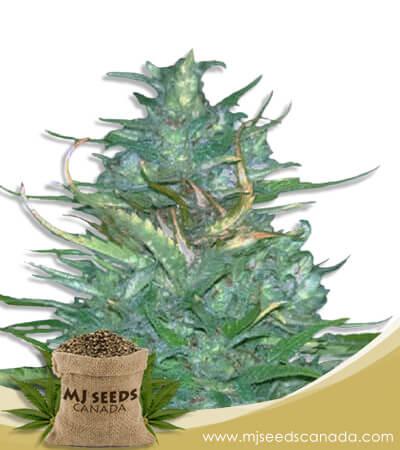 Auto CBD Blueberry Marijuana Seeds