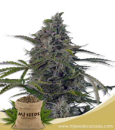 Auto CBD Fruit Cheese Marijuana Seeds