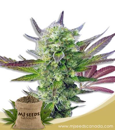 Auto CBD Girl Scout Cookies Marijuana Seeds