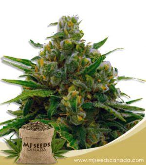 Auto CBD White Widow Marijuana Seeds