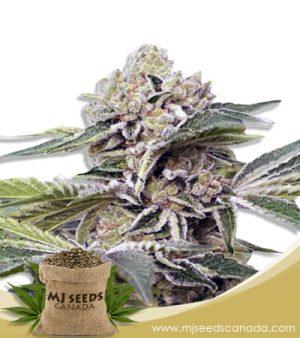 Auto CBDV Marijuana Seeds