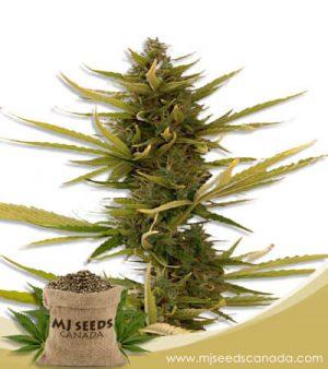 Banana Autoflowering Marijuana Seeds