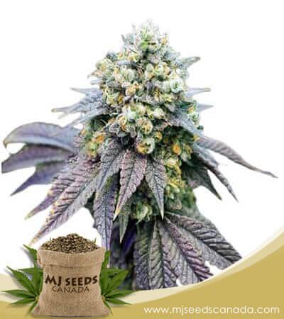 Birthday Cake Feminized Marijuana Seeds
