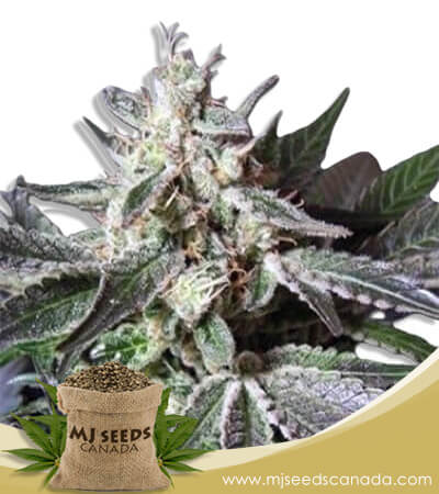 Black Cadillac Autoflowering Marijuana Seeds