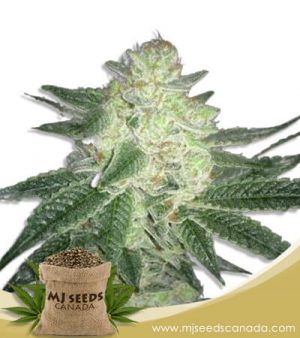 Black Gorilla Feminized Marijuana Seeds