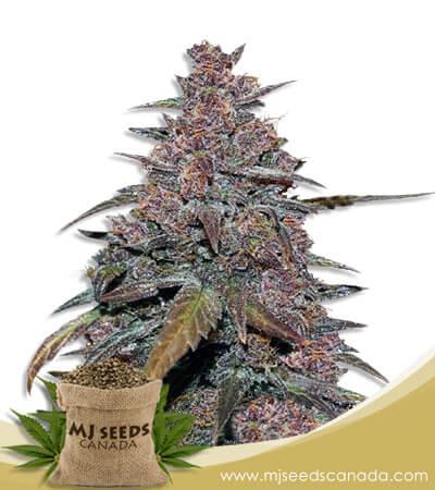 Blackberry Candy Regular Marijuana Seeds