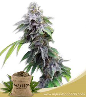Blue Cookies Feminized Marijuana Seeds