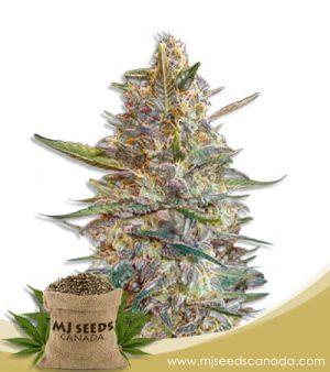 Blueberry Diesel Autoflowering Marijuana Seeds