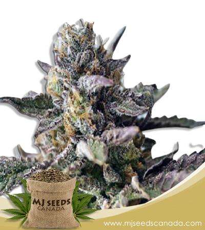 Blueberry Yum Yum Autoflowering Marijuana Seeds
