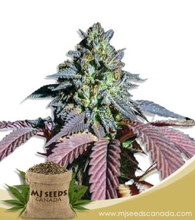 Bonkers Feminized Marijuana Seeds