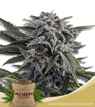 Bubba White Autoflowering Marijuana Seeds